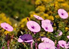 Äng av morgonhärlighet för lösa blommor Royaltyfri Bild