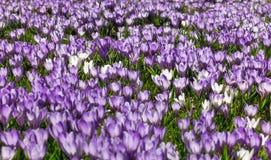 Äng av purpurfärgade och vita krokusblommor Royaltyfria Bilder