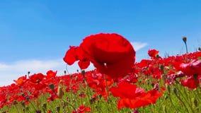 Äng av röda vallmo mot blå himmel med moln i blåsig dag, jordbruksmark, bygd, lantlig bakgrund