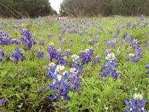 Äng av Texas Bluebonnets i våren - Wimberley, Texas Royaltyfria Foton
