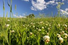 Äng av växt av släktet Trifolium arkivbilder