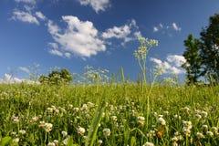 Äng av växt av släktet Trifolium och träd royaltyfria bilder