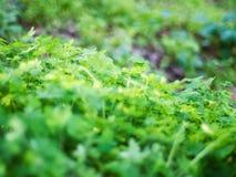 Äng av växter av släktet Trifolium Fotografering för Bildbyråer