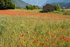 Äng av vallmo i Provence Fotografering för Bildbyråer