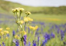 Äng av vildblommor i Colorado Arkivfoto