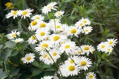 Äng av vita nivian blommor Arkivbilder