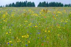Äng av wild blommor royaltyfri bild