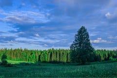 Äng för sommarlandskapbjörk, skog i Arkivfoto