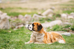 Äng för St Bernard Or St Bernard Dog Sit Outdoor In Green Spring Royaltyfri Foto