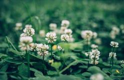 Äng för vårväxt av släktet Trifoliumblomning Arkivbild