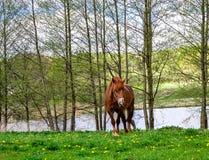 Äng flod, solig dag, häst på äng Royaltyfria Foton