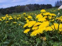 Äng i maskrosor för Maj fulla blomningguling Arkivfoto