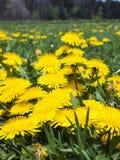 Äng i maskrosor för Maj fulla blomningguling Royaltyfri Bild