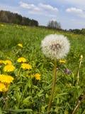Äng i maskrosor för Maj fulla blomningguling Arkivbilder