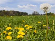 Äng i maskrosor för Maj fulla blomningguling Arkivfoton