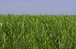 Äng med barngräs som växer för det andra snittet Arkivbild