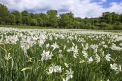 Äng med blommande påskliljor Fotografering för Bildbyråer