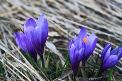 Äng med blommande vårkrokus Royaltyfri Fotografi