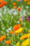Äng med färgrika blommor Arkivbild