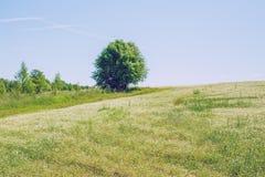 Äng med grönt gräs och vita blommor Royaltyfria Bilder