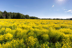 Äng med gul kryddkrasse på en klar solig dag Ñ Ð-½ е för ¾ Ð  Ñ ¹ Ð ‹Ñ ½ Ð  Д Arkivbild