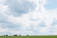 Äng med kor i avståndet Enorm himmel med vita moln Fotografering för Bildbyråer