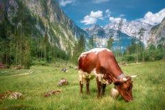 Äng med kor i den Berchtesgaden nationalparken royaltyfri bild
