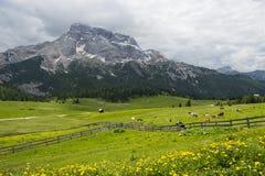 Äng med kor som omges av trästaketet i bergen Royaltyfri Bild