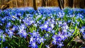 Äng med tidiga blom Fotografering för Bildbyråer