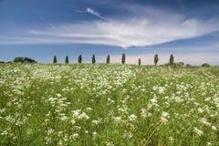 Äng med vita blommor som är främsta av en rad av träd Arkivfoto