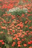 Äng mycket av lösa blommor Arkivbild