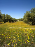 Äng, olivträd och blå himmel arkivbilder