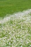 Äng som blommar vita blommor Arkivfoto