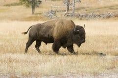 äng yellowstone för amerikansk bison royaltyfri foto