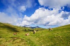 Ängar och kor med berg Arkivbilder