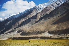 Ängar och snöbergskedja Ladakh, Indien royaltyfri bild