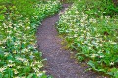 Ängbana av vita blommande Fawn Lily blommor Arkivfoto
