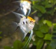 ängelfisk Arkivbilder