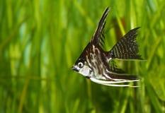 ängelfisk Royaltyfri Foto
