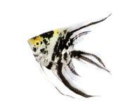 ängelfisk Royaltyfria Foton