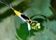 Ängelfisk som äter fiskflingamat från tjänste- matande akvariefisk Royaltyfria Foton
