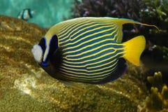 ängelfisken görar randig tropiskt Royaltyfri Fotografi