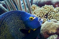 ängelfiskfransman Royaltyfria Bilder