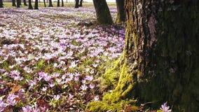 Ängen av krokus blommar på våren skogen stock video