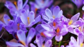 Ängen av krokus blommar på våren skogen arkivfilmer