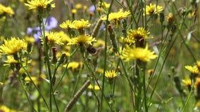 Ängen blommar, och öron av havre svänger i vinden på en solig sommardag stock video
