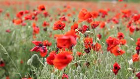 Ängen med den härliga röda vallmo blommar i vår stock video