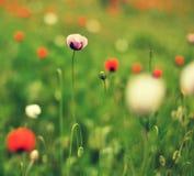 Ängen med den härliga röda vallmo blommar i vår Arkivbild