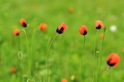 Ängen med den härliga röda vallmo blommar i vår Arkivfoton