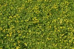 Änggräs och lös smörblomma Fotografering för Bildbyråer